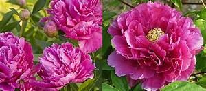 Langage Des Fleurs Pivoine : fleurs pivoine signification ~ Melissatoandfro.com Idées de Décoration
