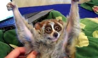 this is the youtube comment the slow loris deserves funny i want and sweet