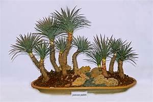 Yucca Palme Braune Blätter : yucca als bonsai erziehen so gelingt 39 s palmlilie ~ Lizthompson.info Haus und Dekorationen