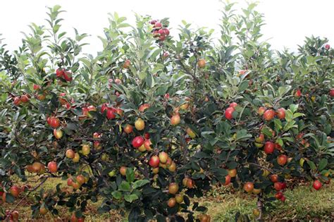 agro wisata perkebunan apel malang   indonesia