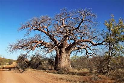 Baobab African Tree Baoba Adansonia Albero Trees