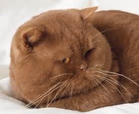 shorthair cinnamon cat cinnamon shorthair kittens about animals