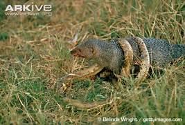 Honey Badger Vs King C...Honey Badger Vs Mongoose