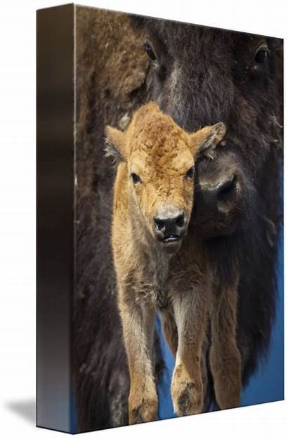 Bison Calf Close Mother Wood Newborn Houzz