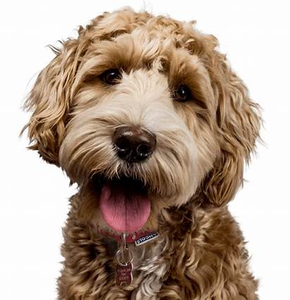 Labradoodle Doodle Near Rescues Puppies Bay Area