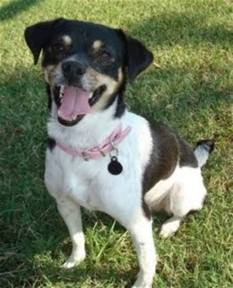lost dogs found domino rat terrier