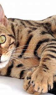 Cat Bengal Pet · Free photo on Pixabay