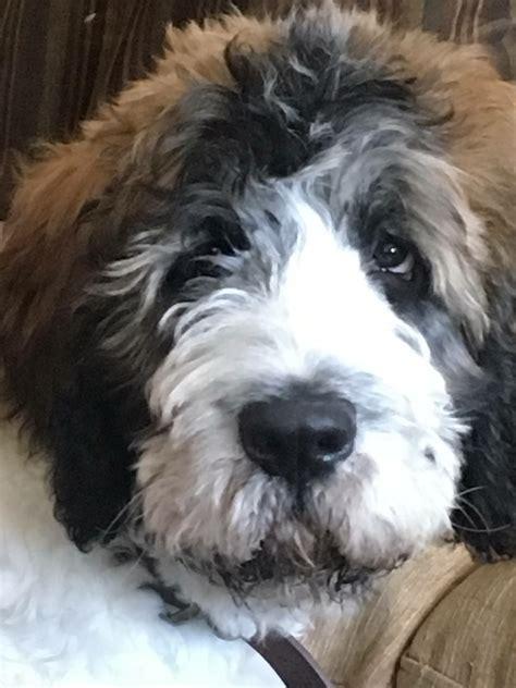 saint berdoodle yankee doodle puppies  love dogs st