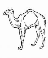 Camel Coloring Desert Dromadaire Animaux Pewarna Through Coloriage Printable Kanak Kucing Template Coloriages sketch template