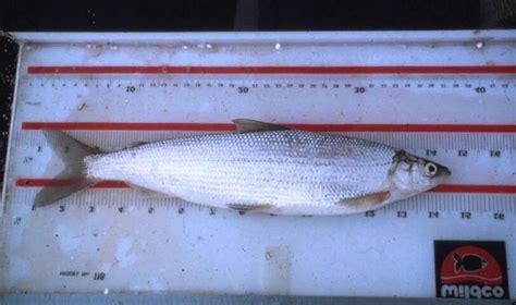 Least Cisco Fish Coregonus Sardinella.jpg