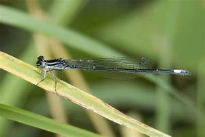 Black-and-White Damsel | Arizona Dragonflies