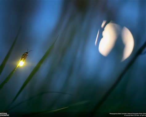 firefly  moon  national geographic photography