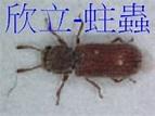 家中有蟲-書蝨.姬薪蟲.跳蟲.木蠹蟲@欣利消毒除蟲-跳蚤、白蟻、蛀蟲、蟑螂|PChome 個人新聞台