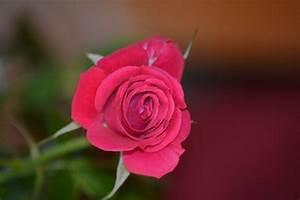 Single Red Rose Photo Free Stock Photo - Public Domain ...