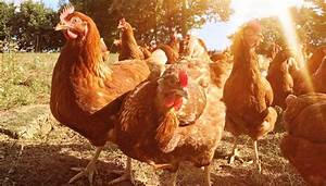 Summer Heat  Repeat Of The Poultry Apocalypse Unlikely  Thanks To Technology