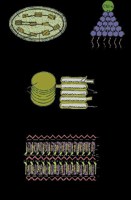pinkmonkeycom biology study guide  chloroplasts