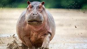 BBC - Earth - The fattest animal on Earth