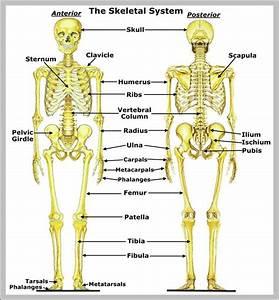 Human Skeleton Anatomy