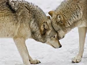 Real Wolf Paw Print Snow