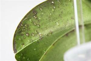 Schädlinge Zimmerpflanzen Klebrige Blätter : klebrige tropfen an phalaenopsis orchidee majas pflanzenblog ~ Lizthompson.info Haus und Dekorationen