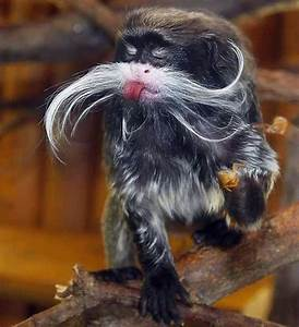 HQ Wallpapers: Emperor Tamarin Pictures