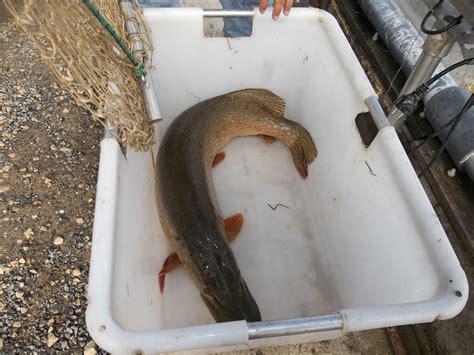 cuisiner le gardon pisciculture grosse carpe a vendre