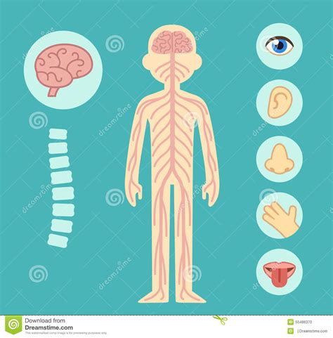 nervous system stock vector illustration  elements