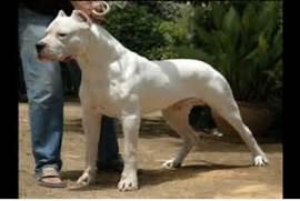 Dogo Argentino Hunting