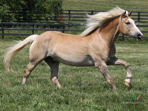 wonderful haflinger horse weneedfun