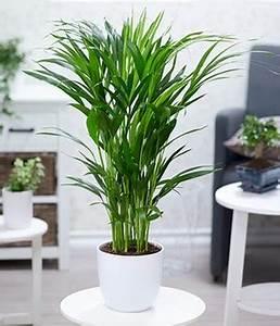 Pflanzen Für Gesundes Raumklima : xxl zimmerpflanzen online kaufen bestellen bei baldur garten ~ Indierocktalk.com Haus und Dekorationen