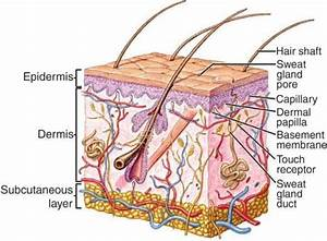 Structure Of Human Skin Showing The Upper Epidermal