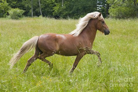 young horse icelandic trot smith kathleen photograph greeting card 9th which july uploaded