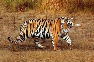 Bengal Tiger | Wild Life Animal
