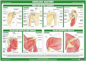 Shoulder Anatomy Chart