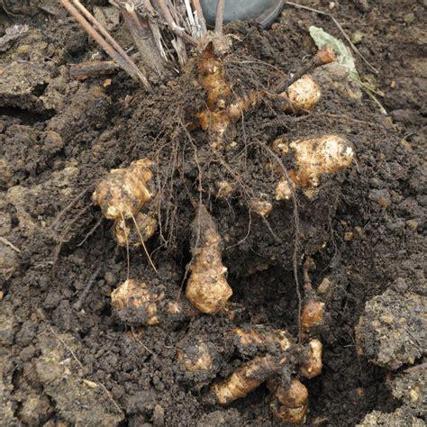 jerusalem artichoke it s not an artichoke it s a sunflower jerusalem artichoke the arid land homesteaders league