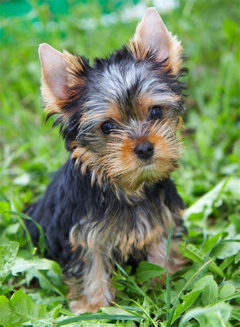 xpx yorkshire terrier  kb