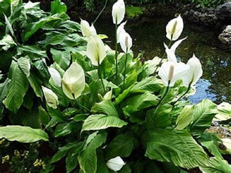 indoor lilies top 10 air detoxifying plants for indoor use top inspired
