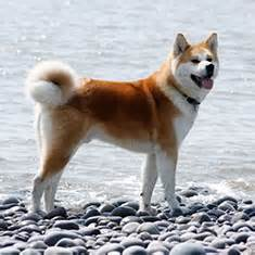 does akita shed a lot top ten dogs for experienced owners