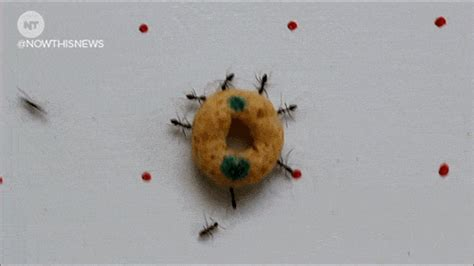 crazy ants gifs find share  giphy