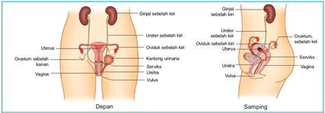 Di Dalam Rahim Wanita Organ Alat Reproduksi Pada Wanita Struktur Dan Fungsi