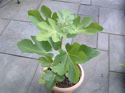 fig trees veggie gardening tips