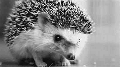 Hedgehog Animals Fanpop Animal Hedgehogs Animated Gifs