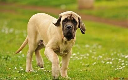 Mastiff Chien Joueur Dog Dogs Cane Education