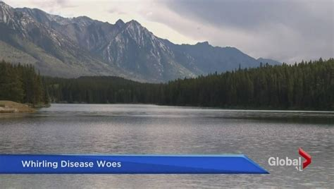 fish parasite found whirling fishery lott alberta disease creek commercial banff deadly lake national park globalnews detected play