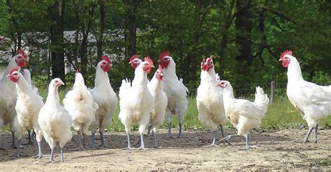 comment cuisiner une poule la volaille de bresse la reine des volailles