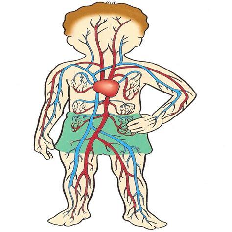 Aparato Circulatorio Poema – Dibujosparacolorear