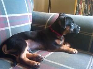 jack russel black and brown | Jack Russell Terrier ...