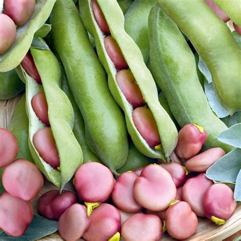 broad bean karmazyn seeds dobies