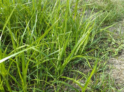 Types Of Grass Weeds In Lawns Pictures To Pin On Pinterest