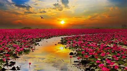 4k Sunset Flowers Lotus During Wallpapers